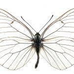 <i>Aporia crataegi</i>, male (Romania)