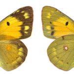 <i>Colias croceus</i>, female (Romania)
