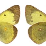 <i>Colias erate</i>, male (Romania)