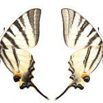 <i>Iphiclides podalirius</i> (Romania)