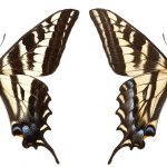 <i>Papilio eurymedon</i>