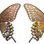 <i>Papilio polyxenes</i> (USA)