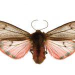 <i>Phragmatobia fuliginosa</i> (Romania)