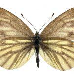 <i>Pieris bryoniae</i>, female (Romania)
