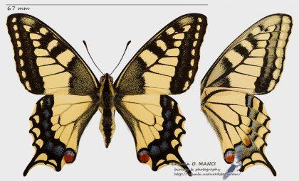 Papilio machaon, Romania - near Deva(HD) in 26.june.2016