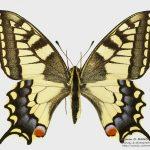 Papilio machaon, from Romania