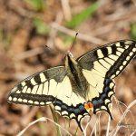 Papilio machaon, near Nucsoara (HD) in 27.march.2011