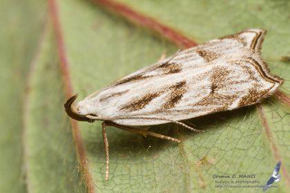 Dichomeris rasilella, Romania - near Comarna (IS) in 27.july.2016
