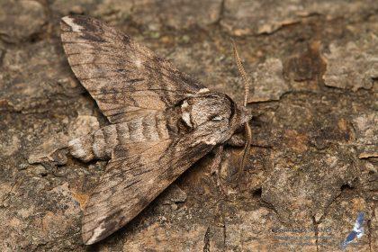 Dolbina elegans, Romania - near Comarna (IS) in 26.july.2016