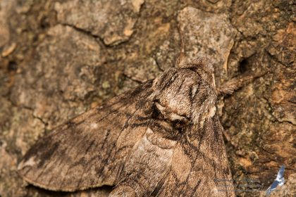 Dolbina elegans, Romania - near Comarna (IS) in 30.july.2016