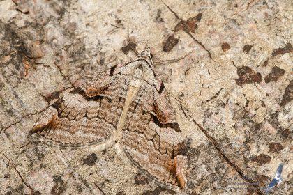 Aplocera praeformata, Romania - Rarau Mts. (SV) in 1.august.2016