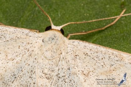 Scopula incanata, Romania - Rarau Mts. (SV) in 1.august.2016