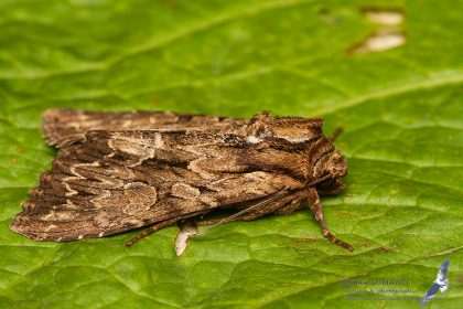 Apamea monoglypha, Romania - Rarau Mts. (SV) in 1.august.2016
