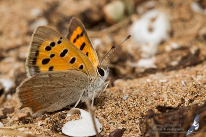 Lycaena phlaeas, Morocco - near Sidi Kaouki (prov. Essaouira), 14.april.2016
