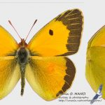 Colias croceus, male, Romania - near Comarna (IS) in 24.september.2015